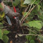 Обрезка малины осенью: сроки, правила, способы и пошаговая инструкция