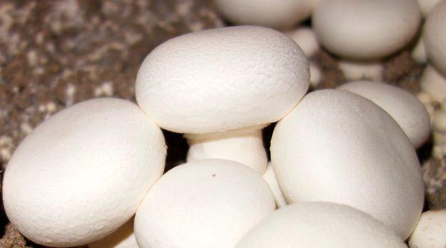 Выращивание шампиньонов в домашних условиях для новичков: пошаговые инструкции