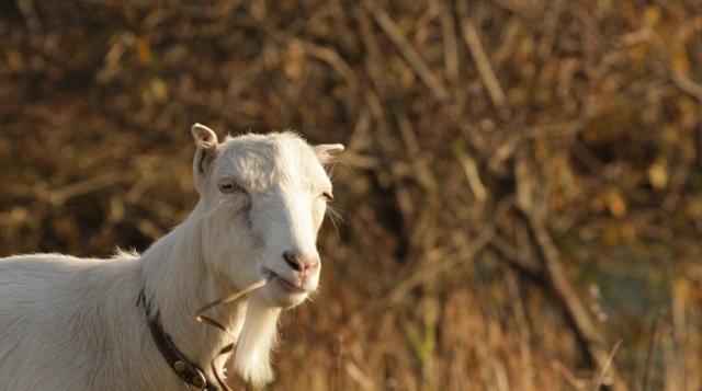 Козы Ламанча: описание породы с фото, правила разведения