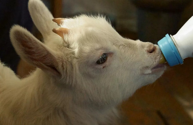 Окот козы: подготовка, признаки, процесс родов, осложнения и последующий уход