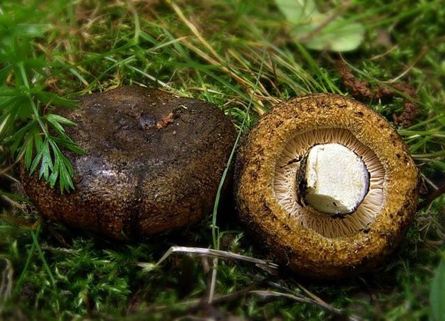 Грибы грузди: описание, виды, выращивание, где растёт