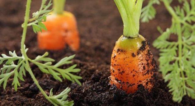 Почему не всходит морковь, и что делать: эффективные методы и полезные советы