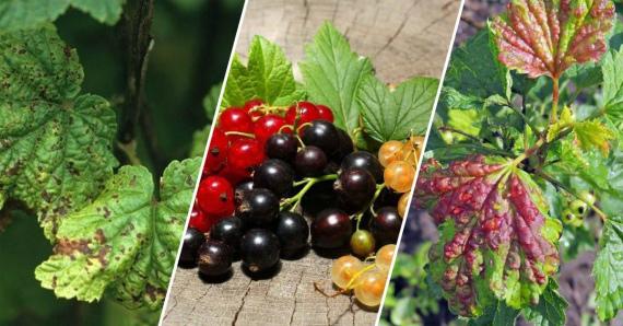 Красные пятна на листьях смородины: причины и как избавиться?