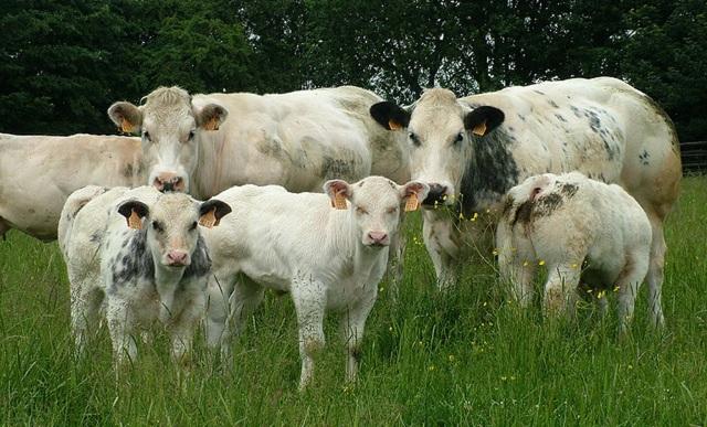 Бельгийская голубая корова: описание с фото, происхождение, продуктивность, содержание, уход и разведение