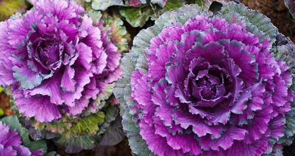 Декоративная капуста: описание, сорта, выращивание и уход, отзывы
