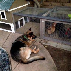 Загон для кур: разновидности и как построить в домашних условиях?