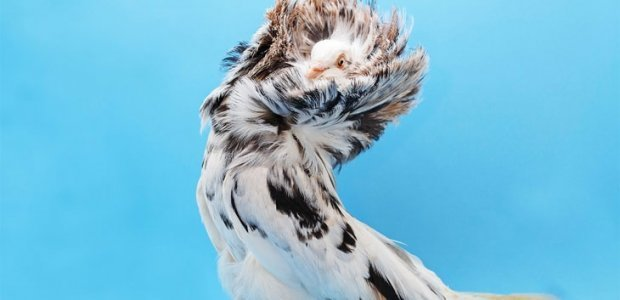 Голуби Алтая: породы, фото, особенности ухода и содержания за птицами