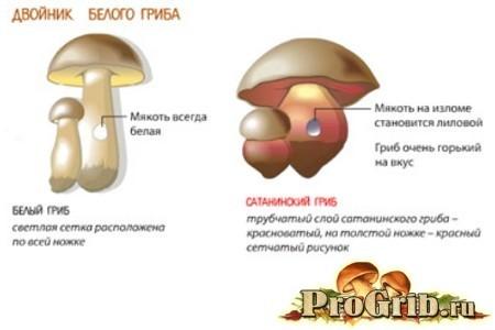 Ложный белый гриб: описание, фото, опасность отравления, свойства. Состав, применение и стоит ли выращивать?