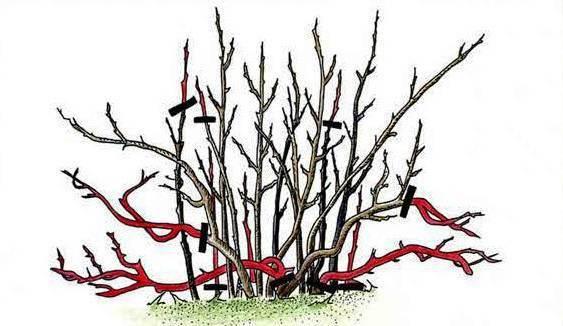 Уход за смородиной осенью: обрезка, рыхление, полив, подкормка, подготовка к зиме