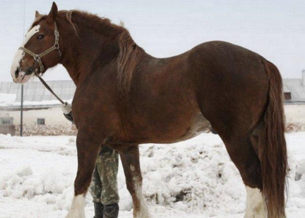 Владимирский тяжеловоз: описание лошади, особенности уход и содержание породы
