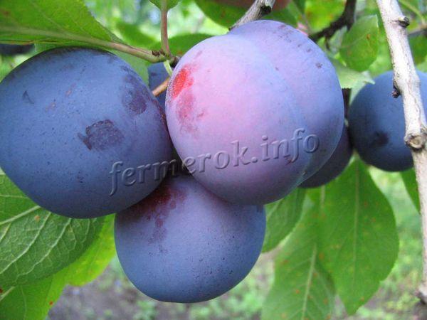 Слива венгерка: описание с фото, сорта, отзывы, посадка и выращивание