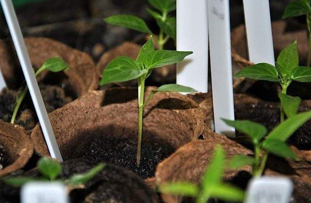 Перец Калифорнийское чудо: описание сорта с фото, посадка, выращивание и уход, отзывы
