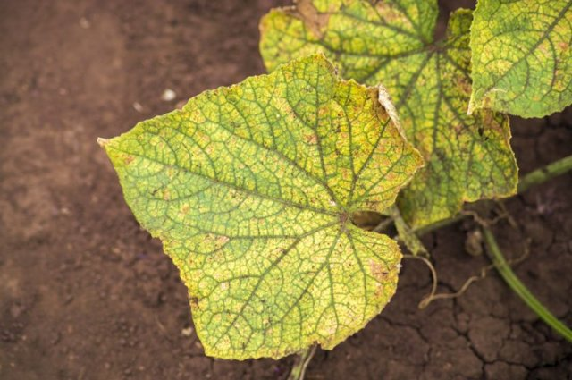 Огурец Пальчик: описание сорта, фото, агротехника, посадка, уход и сбор урожая