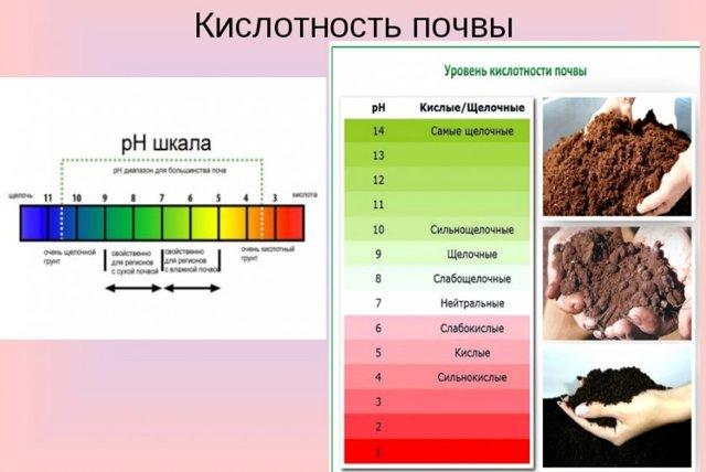 Груша Киргизская зимняя: описание сорта, фото, посадка и отзывы
