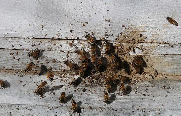 Акарапидоз пчел: причины, симптомы, лечение, профилактика