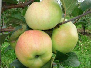 Яблоня Богатырь: описание сорта с фото, правила посадки и ухода