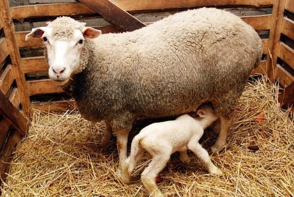 Овцы мясных пород: отечественные, зарубежные, ближнего света