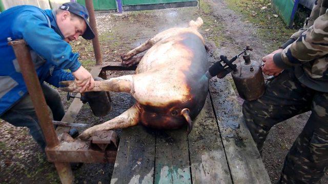 Разделка туши свиньи: правила, схемы, классическая технология, выход чистого мяса