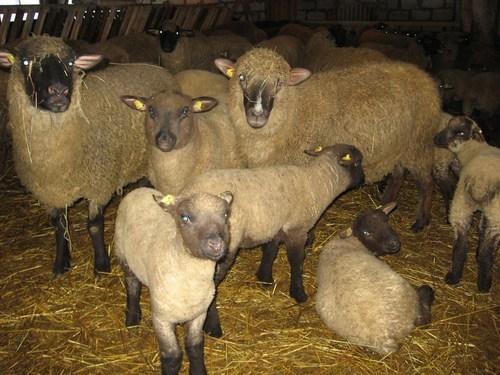 Овцы породы ромни-марш: описание, продуктивность, содержание, кормление