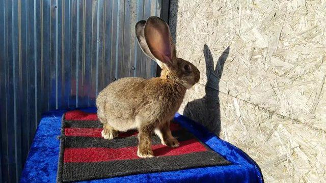 Кролик Фландр (Бельгийский великан): происхождение, характеристики, содержание и разведение, отзывы