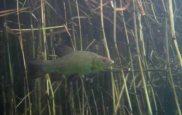 Линь: описание рыбы, образ жизни, ловля, разведение и выращивание рыбы
