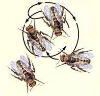 Танцы пчел: их значение и виды