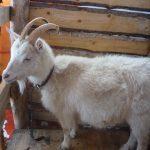 Русская белая коза: описание породы, фото, особенности содержания и разведения, отзывы