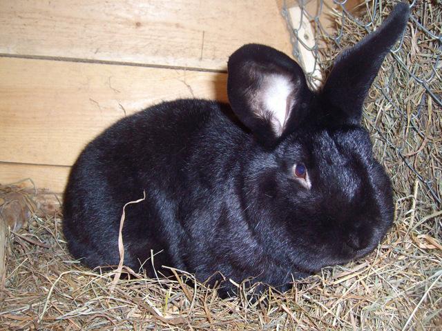 Черно-бурый кролик: внешний вид и особенности породы, фото, выращивание и уход