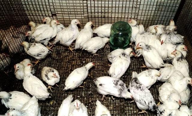 Порода кур Адлерская серебристая: описание, фото, достоинства, недостатки, содержание и разведение