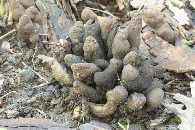 Гриб пальцы дьявола: описание, съедобность, где и как растет, фото