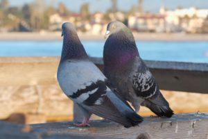 Как отличить голубя от голубки по внешним характеристикам и поведению, народными способами?