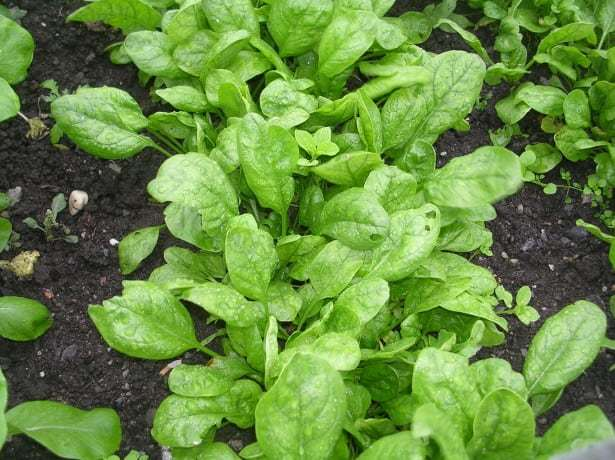 Выращивание и уход за шпинатом в открытом грунте: всё от посадки до сбора урожая