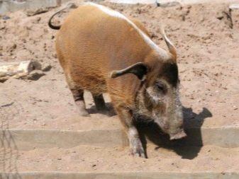 Африканская кистеухая свинья: описание породы, особенности обитания в дикой природе