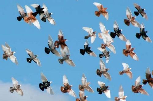 Статные голуби: описание, фото, виды, летные качества, правила содержания