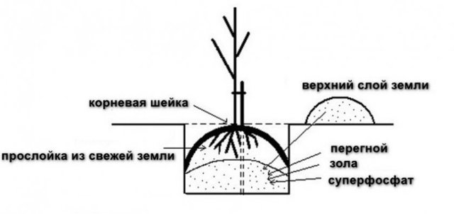 Груша Десертная Россошанская: описание сорта, посадка, уход