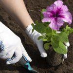 Выращивание гороха в открытом грунте: посадка и уход, сбор и хранение урожая