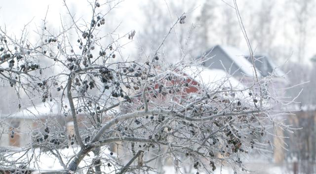 Тернослива: особенности, сорта, посадка и выращивание
