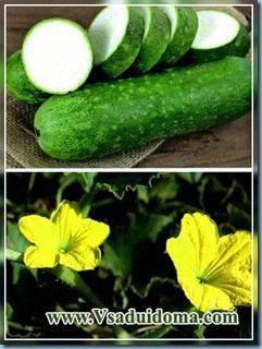 Восковая тыква Бенинказа: описание, выращивание, отзывы