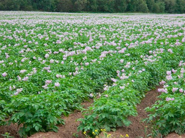 Болезни картофеля: описание, симптомы, лечение, профилактика