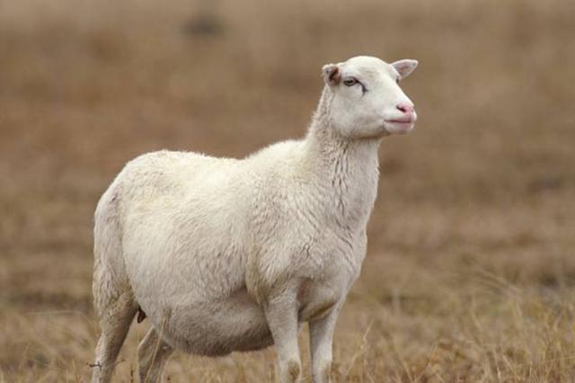 Окот овец: беременность, роды, процесс ягнения, что делать после окота?
