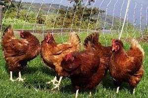 Разведение кур в домашних условиях на яйца и мясо: правила, особенности, выгода от бизнеса