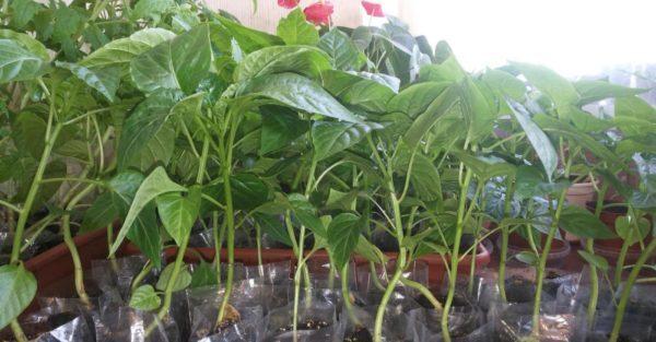 Перец Атлант: характеристика с фото, агротехника выращивания, хранение, отзывы