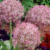 Декоративный лук: популярный сорта, посадка и уход