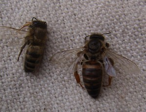 Болезни пчел: описание, причины, признаки, лечение и профилактика