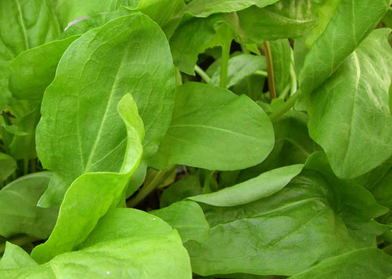 Выращивание щавеля в теплице: сорта, посадка, уход, вредители