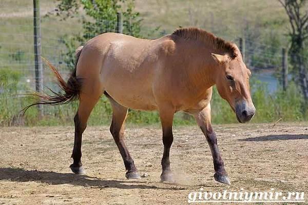 Лошадь Пржевальского: фото, описание породы, история, образ жизни и интересные факты