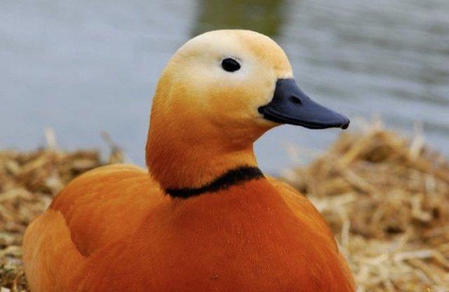 Красная утка (Огарь): описание породы, фото, ценность, уход и содержание, отзывы
