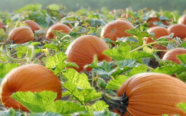 Тыква мускатная: свойства, сорта, посадка, выращивание, сбор урожая