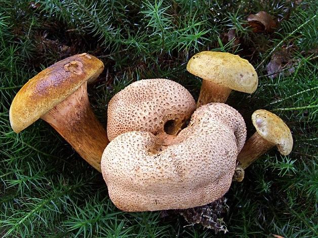 Гриб моховик: описание, фото, выращивание, полезные свойства