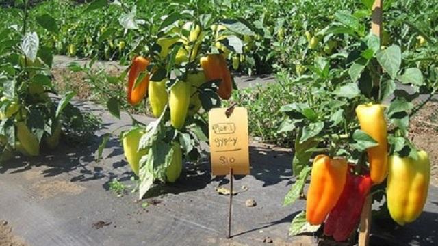 Перец Джипси: описание, фото, выращивание, посадка, уход, отзывы